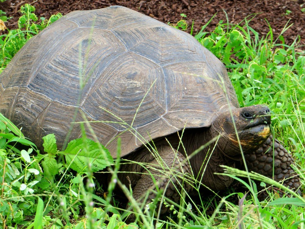 Giant Tortoises of Galapagos – A Heavy Romance