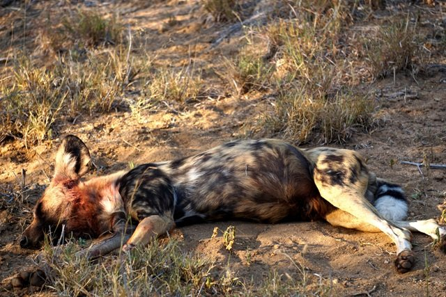 African Hunting Dog Sleeping Patterns