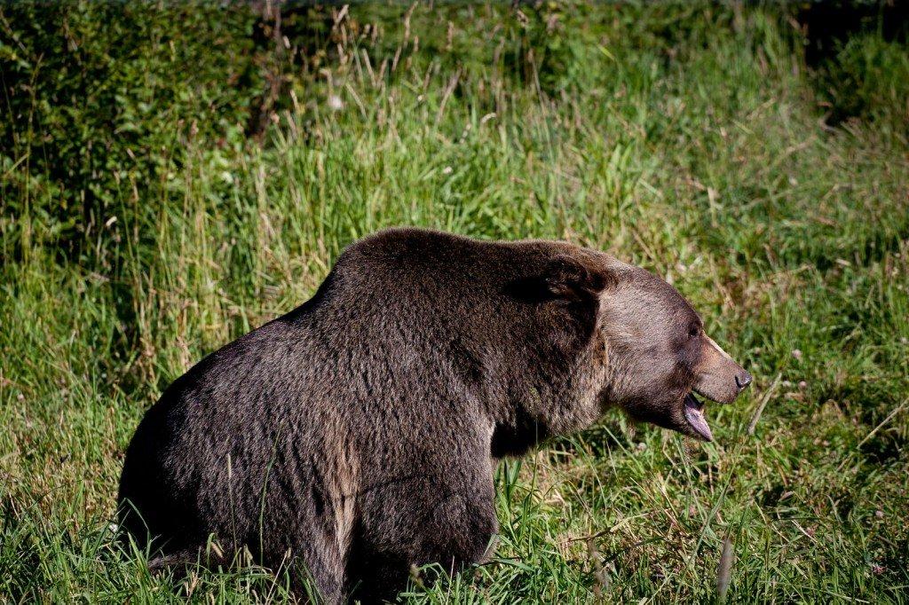 world 39 s largest grizzly bear refuge boo 39 s safe haven. Black Bedroom Furniture Sets. Home Design Ideas