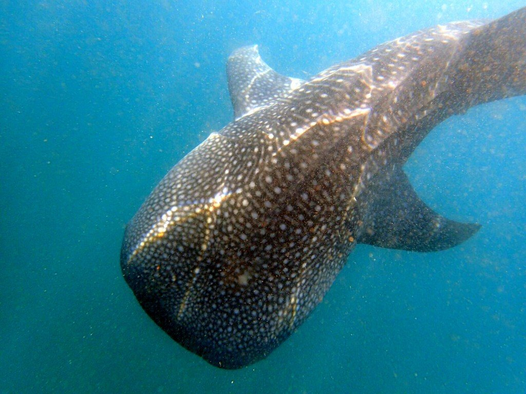 Swimming with whale sharks a big fish story travel for Are sharks fish